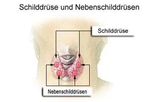 Schilddrüse und Nebenschilddrüse (Wikipedia)