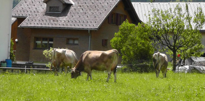 Urlaub am Bauernhof mit Kühen