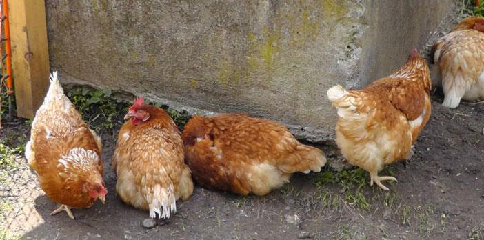 Urlaub am Bauernhof - Auch mit Hühnern!