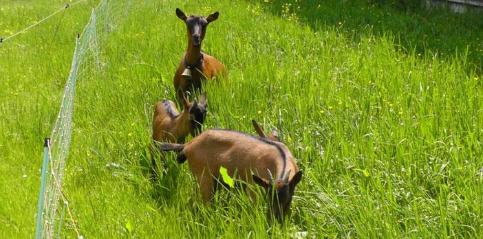 Urlaub am Bauernhof - Mit Ziegenfamilie!